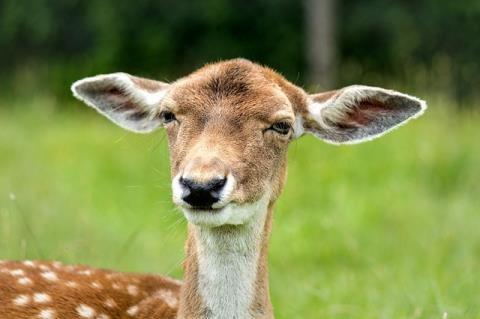 耳を横に伸ばした鹿