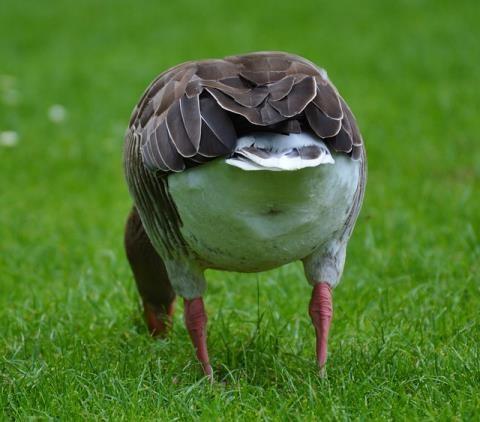 肛門丸見えの鳥